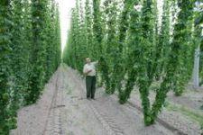 Пивовары из Беларуси будут обязаны закупать хмель у местных производителей